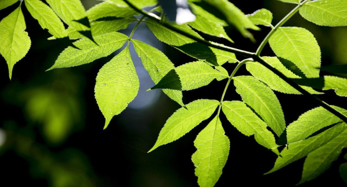 Blätter grün refbejuso