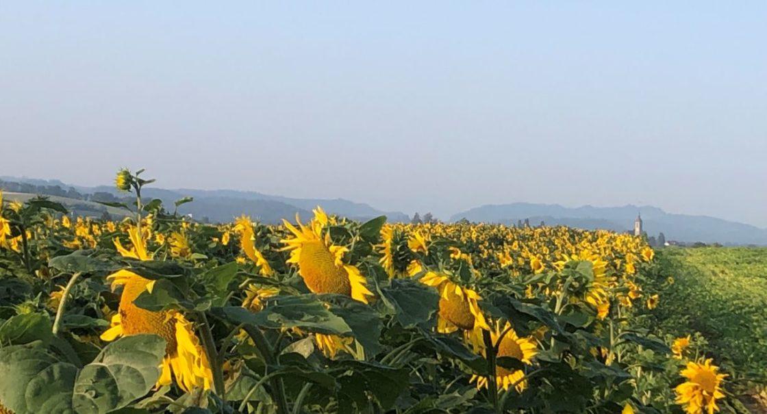 Sonnenblumenfeld mit Kirche sm